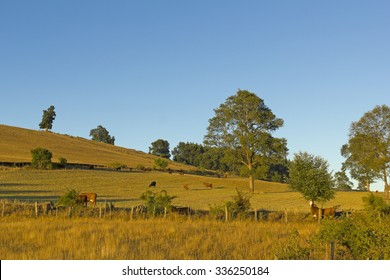Cows grazing in the fields of southern Chile (Araucania Andean)