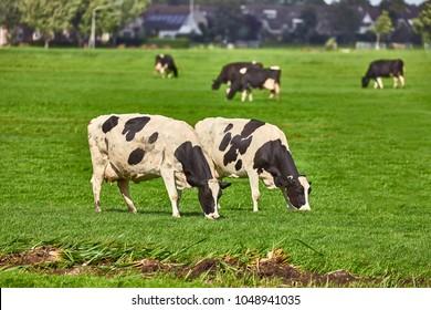 Cows grazing the fresh grass