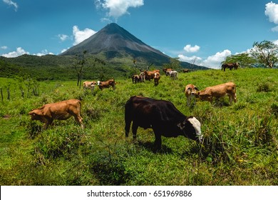 Cows grazing fresh green grass on meadow with volcano of Arenal on the background. Costa Rica