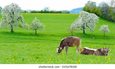 Cows grazing in grassy field.