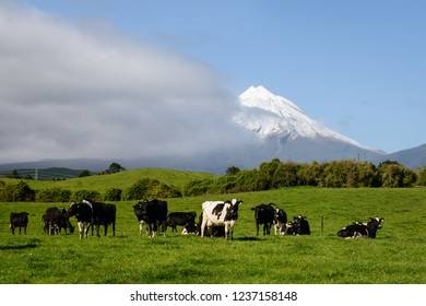 Cows grazing in the green field with Mt Taranaki in the distance