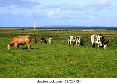 Cows grazing in the green fields of La Hague Cape, Normandy, France