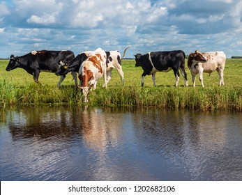 Cows are grazing in the green meadow along the water in Friesland in the north of the Netherlands during sunny weather.
