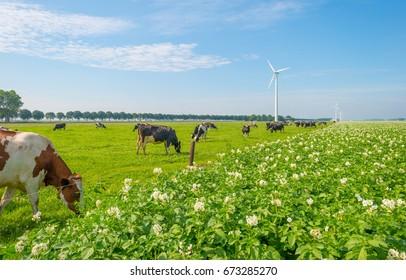 Cows grazing in a green meadow in summer