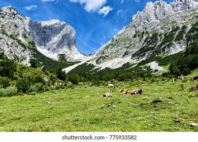 Cows grazing in high alpine pastures in the Alps. Austria, Tirol, Wilder Kaiser Chain