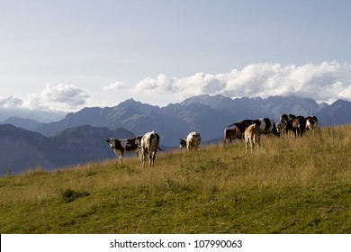 cows grazing at high altitude