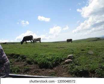cows grazing in the highlands at ardahan/ turkey