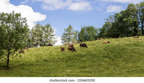 Cows grazing in hight altitude in the Allgau. Bavaria, Germany.