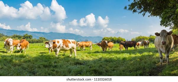 cows grazing livestock industry