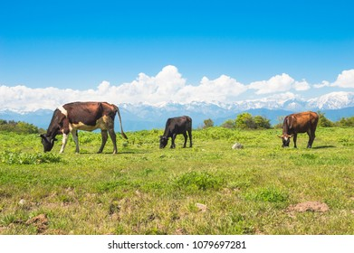 Cows grazing in a meadow against background of snow-capped mountains