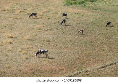 cows grazing in the meadow, herding cats