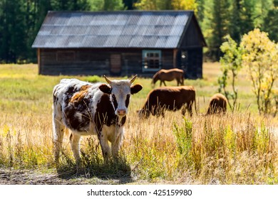 Cows Grazing In The Meadow Next To Building