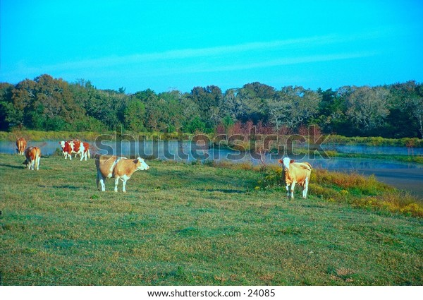Cows grazing in the morning