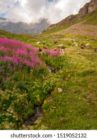 Cows Grazing in a mountain field with purple flowers