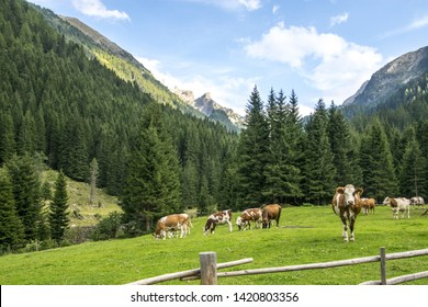 Cows grazing in a mountain hut in the Val di Fiemme Alps in Trentino Alto Adige