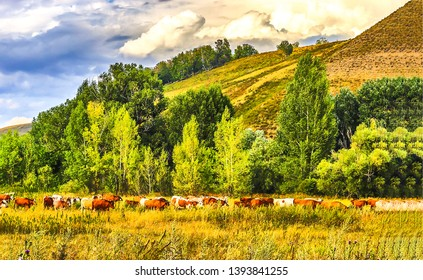Cows grazing in mountain valley. Cow herd grazing on pasture in mountains. Cows mountain valley. Cows grazing pasture mountains