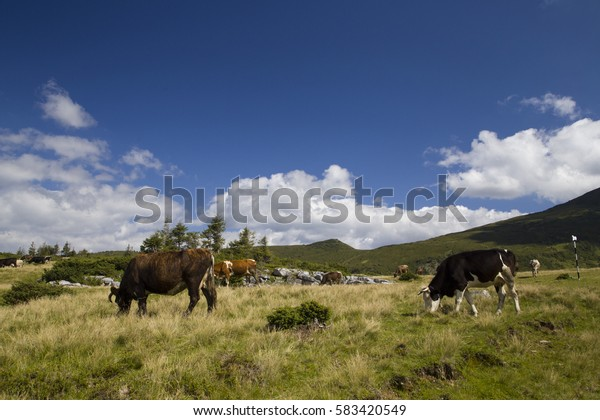 Cows grazing up in the mountains