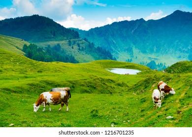 Cows grazing near Casera Losa in the Giulian Alps, Ovaro, Udine, Friuli, Italy