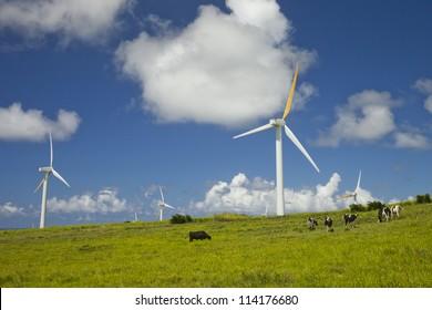 Cows grazing next to windmill farm on a bright sunny day. Hawi wind power plant, Big Island, Hawaii USA