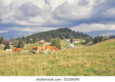 Cows grazing and old wood houses in romanian mountains.