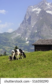 cows grazing on alpine meadow high in the mountains, Switzerland
