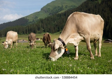 Cows grazing on an alpine pasture in high mountains, ringing with their bells