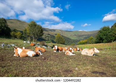 Cows grazing on the Bergamo Alps in northern Italy.