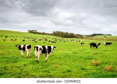 Cows grazing on a dairy farm in rural South Australia