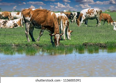 Cows Grazing On A Farm Field With Blue Sky And Clouds. Cows at a Watering Place. Cows grazing on a green meadow, drinking water .