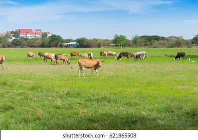 Cows grazing on farm with green field in good weather day