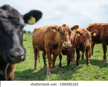 cows grazing on a farm in northern germany