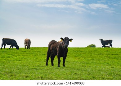 Cows grazing on a farmland in Ireland