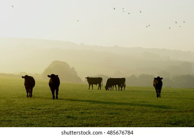 Cows grazing on a farmland on a misty morning