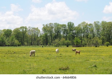Cows grazing on field covered with yellow wildflowers