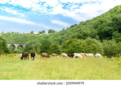 Cows grazing on a footpath leading to the Headstone Viaduct on the Mensal Trail, Peak District, England