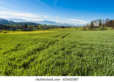 Cows grazing on fresh green mountain pastures on the background of snow-capped Alps. Animal husbandry in Switzerland, fields and meadow