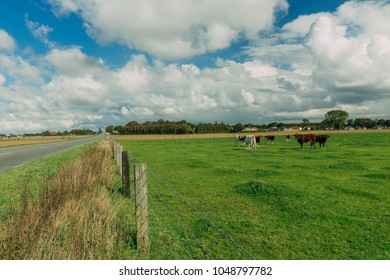 Cows grazing on grassy green field. Countryside landscape with cloudy sky, pastureland for domesticated livestock in Normandy, France. Dramatic sky. Cattle breeding and industrial agriculture concept