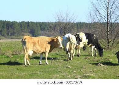 cows grazing on the green farm pasture in the spring