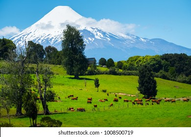 Cows grazing on the green meadow with volcano on the background. Volcano of Osorno, Chile