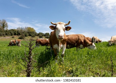 Cows grazing on green meadow in sunny day