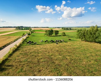 Cows grazing on green pasture under blue cloudy sky