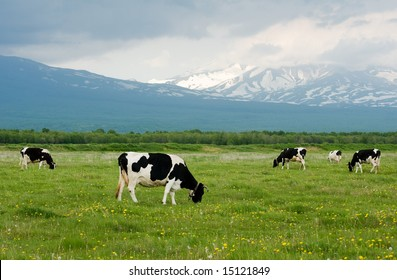 Cows grazing on a green pasture near mountains