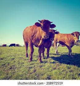 Cows Grazing on Green Pasture in Switzerland, Instagram Effect