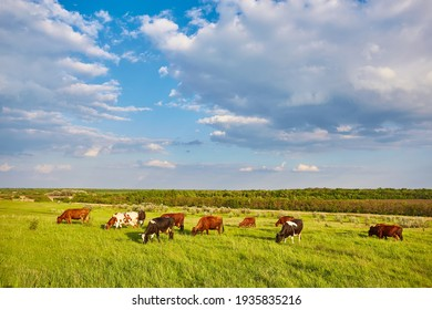 Cows grazing on a green summer meadow