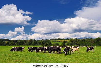 Cows grazing on a green summer meadow. Livestock, Pastures near Porva in Bakony, Hungary