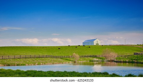 Cows Grazing on Hillside with Barn