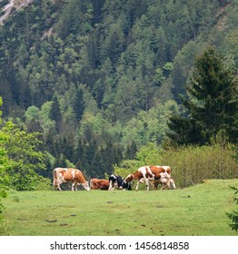 Cows grazing on meadow in Alps