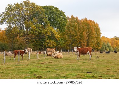 Cows grazing on a meadow in autumn