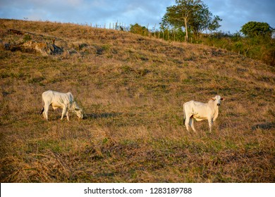 Cows grazing on open fields in the countryside in Brazil´s northeast. Several cows with calves and a bull on a pasture at sunset,