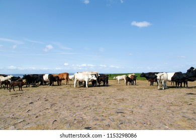 Cows grazing on open land in Gower during the summer heatwave and drought of 2018. The cattle herd together to gain shade from the sun and search for water as the ponds dry up across the countryside.